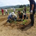 トウモロコシ苗の定植