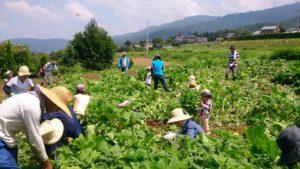8月7日親子農業体験 夏野菜収穫