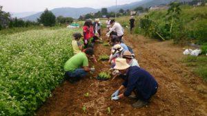 9月11日親子農業体験 白菜定植